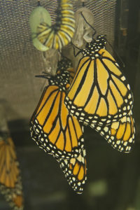 Monarch caterpillar, chrysalis and butterflies hang on the back porch of the Mathieson home in Hudson. (Photo/Maureen Mathieson)